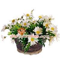 Arreglo de Margaritas Blancas - Codigo:VAT01 - Detalles: Lindo detalle a base de flores blancas, follaje de estacion y margaritas. El arreglo viene en una fina base de mimbre, viene con una elegante tarjeta de dedicatoria. - - Para mayores informes llamenos al Telf: 225-5120 o 4760-753.